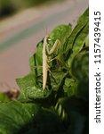 brown praying mantis or mantid... | Shutterstock . vector #1157439415