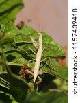 brown praying mantis or mantid... | Shutterstock . vector #1157439418