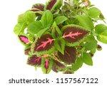 coleus  solenostemon ... | Shutterstock . vector #1157567122