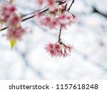 wild himalayan cherry  prunus... | Shutterstock . vector #1157618248