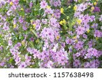 malva sylvestris  mallow plant... | Shutterstock . vector #1157638498