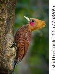 chestnut colored woodpecker... | Shutterstock . vector #1157753695