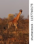 the south african giraffe ... | Shutterstock . vector #1157760175