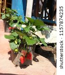 Strawberry Tree In Pot