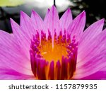 lotus flower purple pink with... | Shutterstock . vector #1157879935