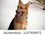 golden german shepherd | Shutterstock . vector #1157920972
