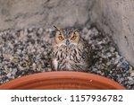 portrait for indian eagle owl ... | Shutterstock . vector #1157936782