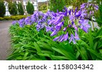 Agapanthus Or African Lily...