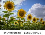 sunflowers on the background of ... | Shutterstock . vector #1158045478