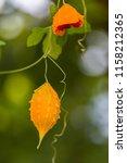 orange ripe hanging fruits of... | Shutterstock . vector #1158212365