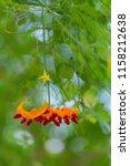 orange ripe hanging fruits of... | Shutterstock . vector #1158212638