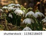 snowdrops. snowdrop first...   Shutterstock . vector #1158218605