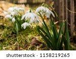 snowdrops. snowdrop first...   Shutterstock . vector #1158219265