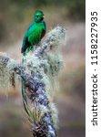 a male resplendent quetzal... | Shutterstock . vector #1158227935