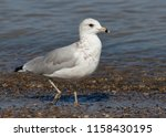 ring billed gull  larus...   Shutterstock . vector #1158430195