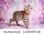 Stock photo spotted savannah kitten f 1158459118