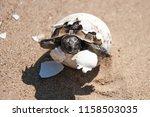 common tortoise baby is... | Shutterstock . vector #1158503035