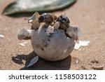 common tortoise baby is... | Shutterstock . vector #1158503122