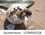 Common Tortoise Baby Is...
