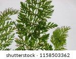 growing carrots in the garden | Shutterstock . vector #1158503362