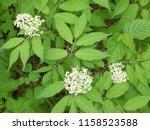 elderberry flower bush | Shutterstock . vector #1158523588