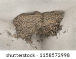 Stock photo swallow nests in the corner of house walls nest of cliff swallows under the roof sitting of 1158572998
