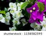 Purple And White Bougainvillea...