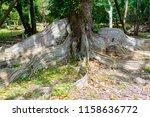 Very Old Heritiera Littoralis...