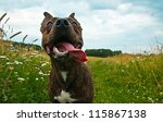 Stock photo dog playing on grass in summerday 115867138