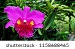 purple cattleya labiata orchid... | Shutterstock . vector #1158688465