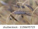 a spike of black emmer wheat ... | Shutterstock . vector #1158695725