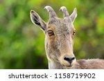 nilgiri tahr animal | Shutterstock . vector #1158719902