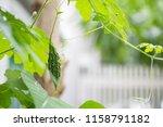 little young bitter melon or... | Shutterstock . vector #1158791182