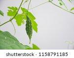 little young bitter melon or... | Shutterstock . vector #1158791185