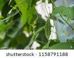little young bitter melon or... | Shutterstock . vector #1158791188
