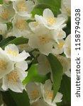 chrysanthemum white flower  ... | Shutterstock . vector #1158794038