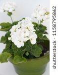 geranium zonal  pelargonium... | Shutterstock . vector #1158795862