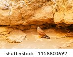 a rock kestrel   falco...   Shutterstock . vector #1158800692