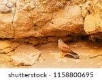 a rock kestrel   falco...   Shutterstock . vector #1158800695