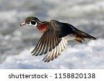 Wood Duck Male Taking Flight In ...