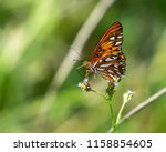 Gulf Fritillary On A White...
