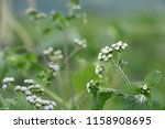 billygoat weed or ageratum... | Shutterstock . vector #1158908695