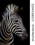 Zebra On Dark Background. Blac...