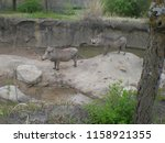 Warthogs At The Zoo