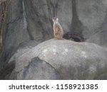 Meerkat Exhibit On Rock