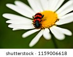 Chamomile And Insect