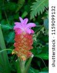 field of siam tulips or dok... | Shutterstock . vector #1159099132