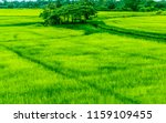 rice cultivation in thailand. | Shutterstock . vector #1159109455