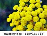 tansy  tanacetum vulgare ... | Shutterstock . vector #1159183315