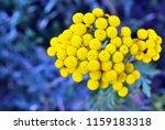 tansy  tanacetum vulgare ... | Shutterstock . vector #1159183318